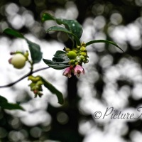 Cee's Flower of the Day #FOTD photo challenge 30th March ~ Snowberry #Berries #Flowers #Nature #Photography