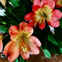 Cee's Flower of the Day Photo Challenge #FOTD ~ Alstroemeria #Flower #Nature #Photography #alstroemeria