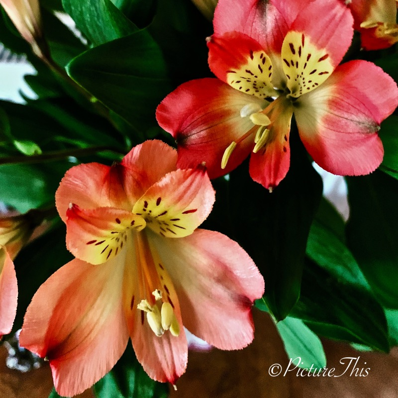 Lovely colourful alstroemeria