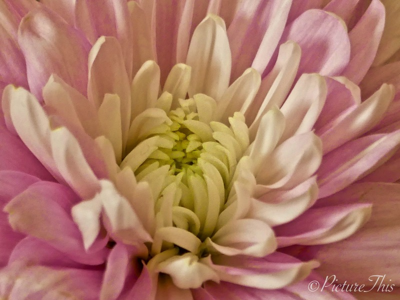 Macro shot of a pink chrysanthemum flower