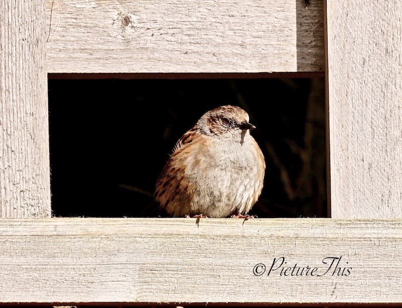 Dunnock on fencing