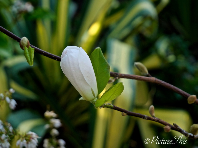 Magnolia bud about to open