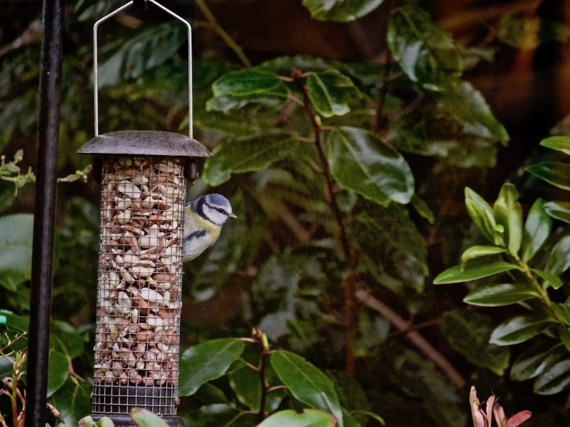 Blue Tit on he feeder eating nuts