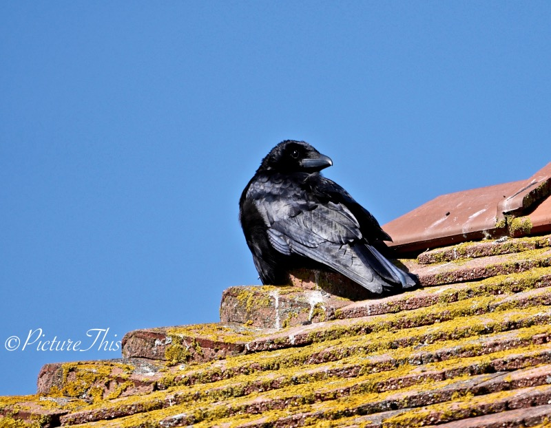 Raven on the roof in the sunshine