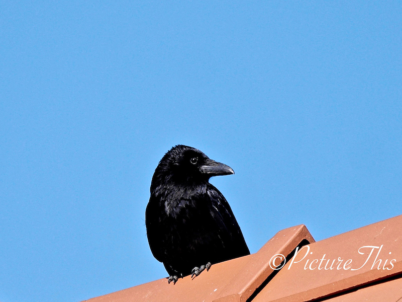 Raven on the rooftop