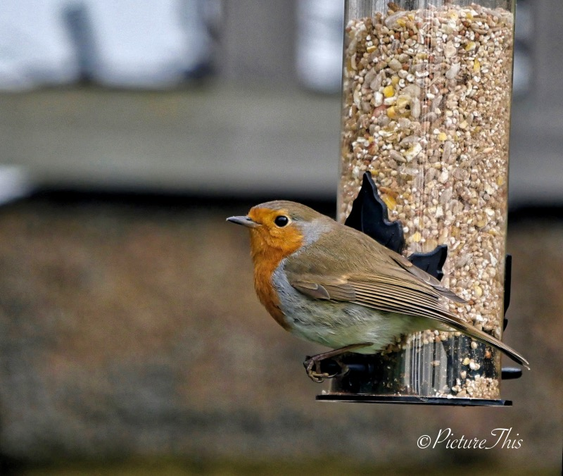 Robin on the seed feeder