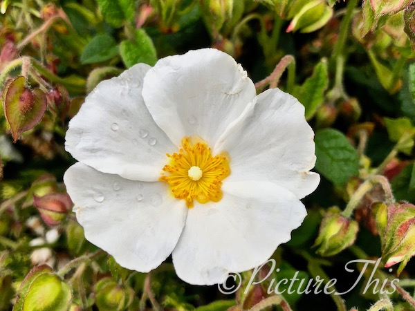 White rock rose with rain droplets