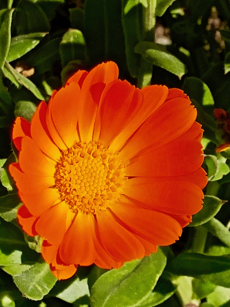 Close up of a wild marigold