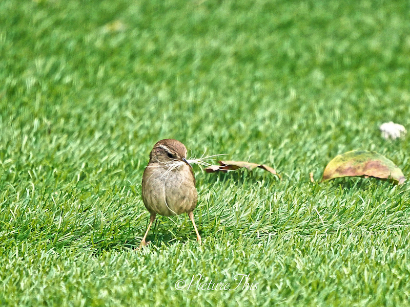 wren collecting nesting material