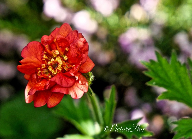 Red geum flower.