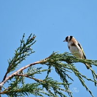 Goldfinches in the Sunshine #GardenBirds #Nature #Photography