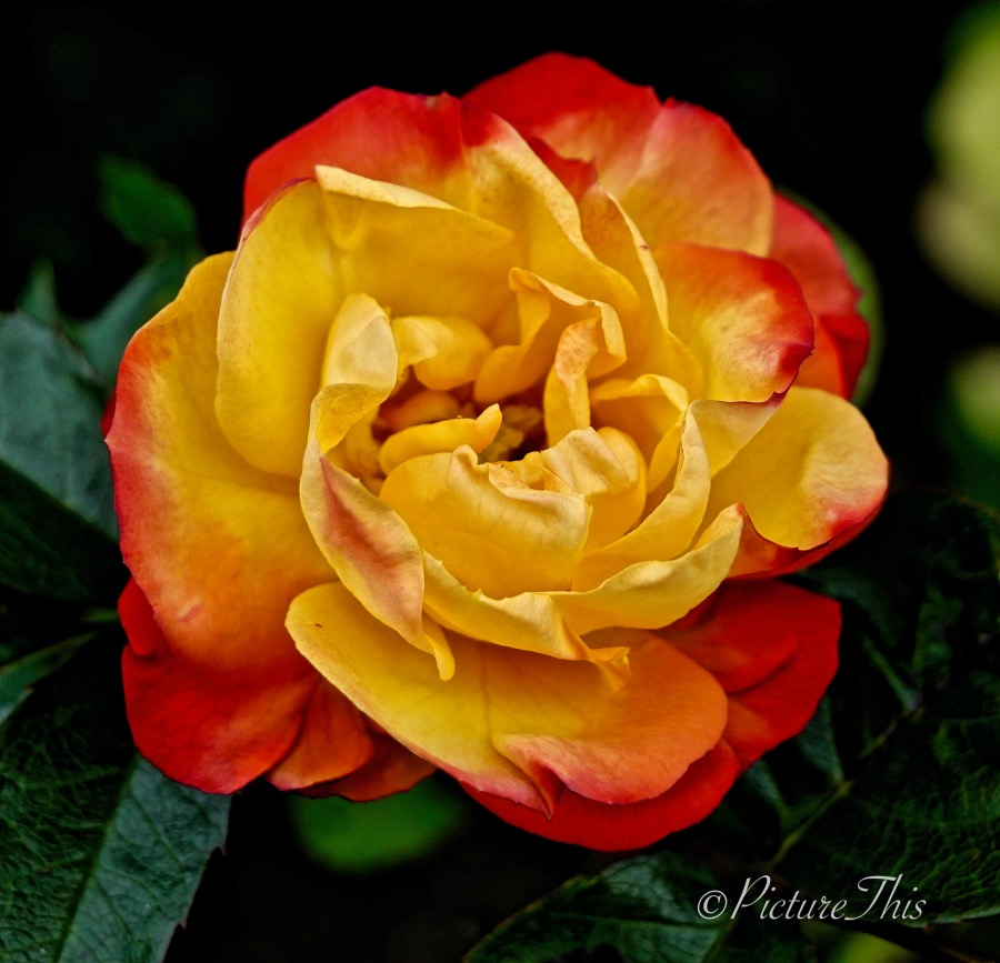 Yellow rose with orange/red leaf edges