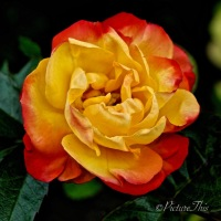 #FOTD Flower of the Day ~ Rose #Flower #Nature #Photography