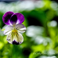 #FF19 #FOTD ~ Viola ~ Floral Friday + Flower of the Day #Flower #Nature #Photography