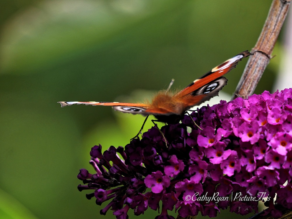 Peacock butterfly on buddleia flowers
