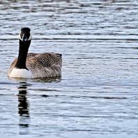 #BirdWeekly ~ Photo Challenge ~ Ducks and Geese #nature #wildlife #photography