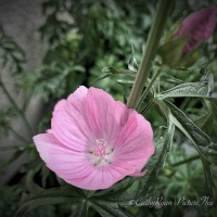 #FOTD Flower of the Day ~ Musk Mallow #WildFlower #Nature #Photography