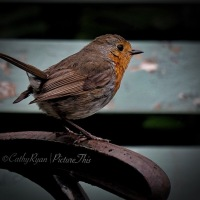 #WordlessWednesday ~ A garden visitor #Birds #Robin #Nature #Photography