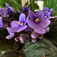 #FOTD ~ Flower of the Day ~ African Violet #Flowers #Nature #Photography