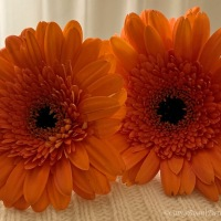 #FOTD ~ Flower of the Day ~ Gerbera #Flower #Nature #Photography