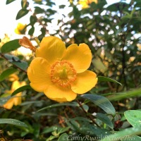 #FOTD ~ Flower of the Day ~ Hypericum #nature #flowers #photography