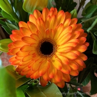 #FOTD ~ Flower of the Day #Gerbera #Flower